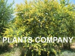 Акация желтая или карагана цветущее дерево из питомника