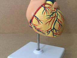 Анатомическая модель Сердце человека