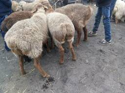 Бараны овцы кюрдючные