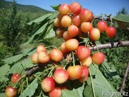 Черешня, саженцы черешни, деревья с комом земли Алматы - фото 5
