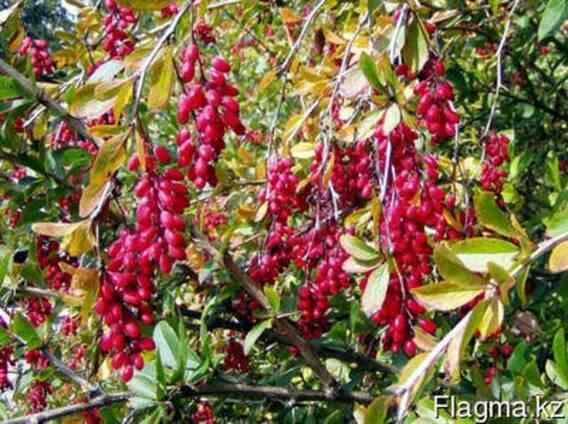 Декоративные растения, саженцы декоративных деревьев Алматы