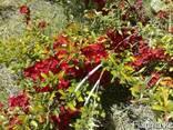 Декоративные растения, саженцы декоративных деревьев Алматы - фото 2