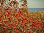 Декоративные растения, саженцы декоративных деревьев Алматы - фото 4