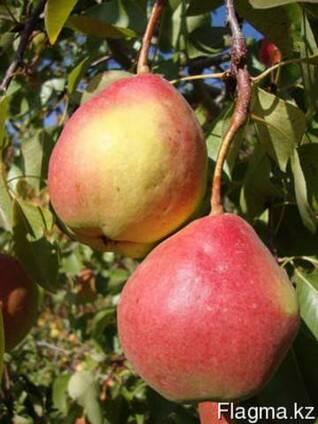 Груша, саженцы груш, продажа деревьев груши Алматы