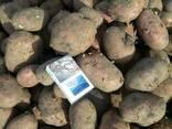 Картофель - фото 3