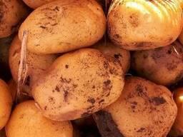 """Картофель """"Импала"""", ур 2019 г, 70 тонн, по цене 50 тг/кг"""