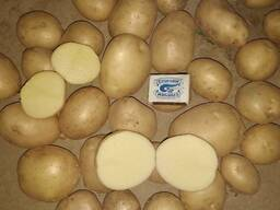 Картофель из Узбекистана