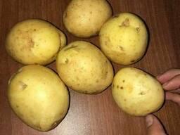 Картофель оптом от крестьянского хозяйства, Джувел 5