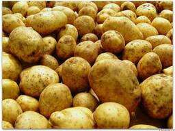 Картофель продовольственный с НДС