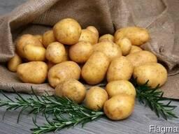 Картофель товарный калиброванный сорт Наташа
