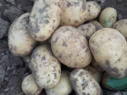 Картофель урожай 2019г.