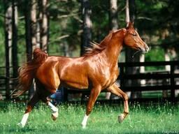 Комбикорм для спортивных лошадей