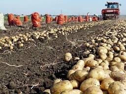 Компания продает картофель, морковь, лук, капуста оптом