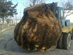 Корень ореха / Walnut root