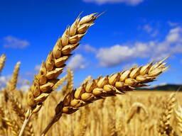 Купим пшеницу 3 - 4 - 5 класс на элеваторе по переписи.