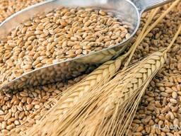 Куплю Твердую Пшеницу