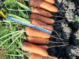 Морковь продам