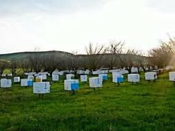 Пчелопакеты, карника - фото 2