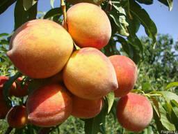 Персики, саженцы персиков, деревья с комом земли Алматы - фото 2
