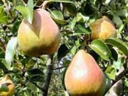 Плодовые деревья.