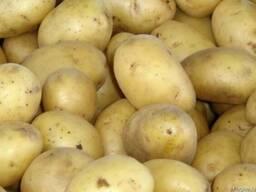 Продаем картофель оптом, урожай 2017г
