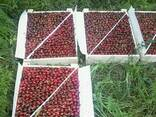 Продам черешню, урожай 2017, Узбекистан. - фото 4