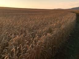 Продам Пшеницу 3, 4/Кукурузу/Сою