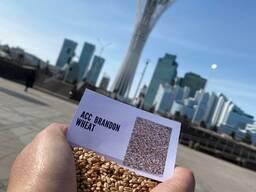 Продам семена пшеницы канадской селекции
