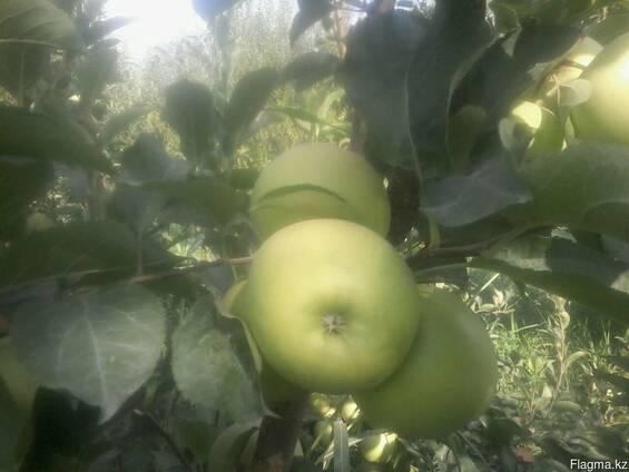 Продам яблоки, Узбекистан, Казахстан, Кыргызстан,урожай 2017