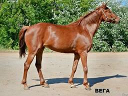 Продажа лошадей ахалтекинской породы