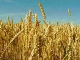 Пшеница 3,4,5 класса