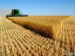 Пшеница 5 класса, неклассная