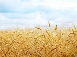 Пшеница CIF Африка, Ближний восток.