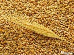 Пшеница мягкая 3-5 класса