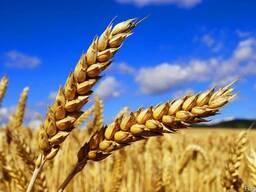 Пшеница мягкая 3 класс