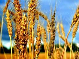 Пшеница мягкая 4 класс
