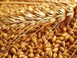 Пшеница опт Россия, Бразилия, Казахстан