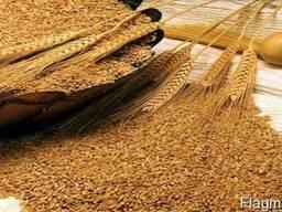 Пшеницу 3кл.
