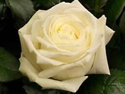 Саженцы корни роз