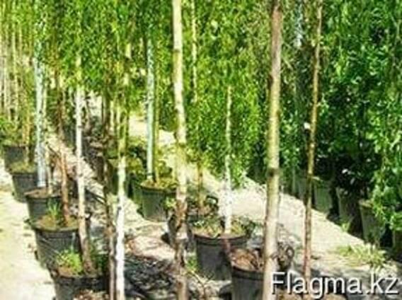 Саженцы лесных пород