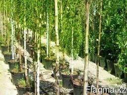 Саженцы лесных пород - фото 1