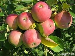 Саженцы плодовых и ягодных культур