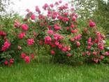 Саженцы роз - фото 2