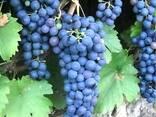 Саженцы винограда - фото 8