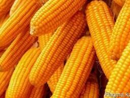 Семена кукурузы Канадский трансгенный гибрид