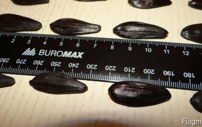 Семена подсолнечника кондитерского Канада трансгенный гибрид