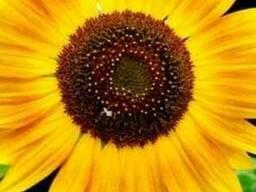 Семена посевные кукурузные, подсолнечника