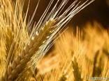 Семена ячменя BYLOT канадский трансгенный сорт двуручка - фото 3