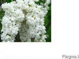 Сирень (лат. Syringa vulgaris), саженцы сирени, Алматы - фото 2
