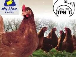 Суточные цыплята яичного кросса Hy Line brown (Хай Лайн кор)